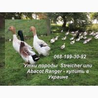 Продам утку породы Anatra Streicher Стрейчер в Украине; семья уток для разведения