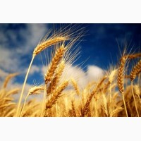 Куплю: пшеницю (2, 3 кл, фураж)