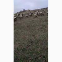 Продам овцы романовская порода 120 голов