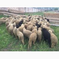 Молодые бараны, овцы