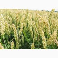 Семена пшеницы ZELMA канадский ярый трансгенный сорт (элита)