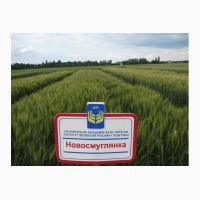 Новосмуглянка потенційна врожайність сорту 100 ц/га