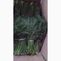 Предлагаем укроп, петрушку и зеленый лук из Узбекистана